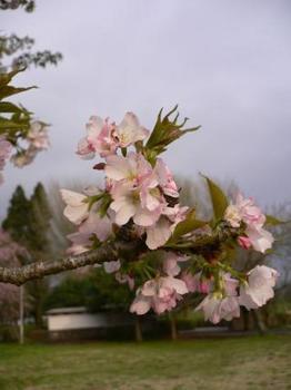 桜sakura.jpg